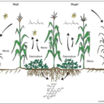 The Push–Pull Strategy To Increase Maize Yields